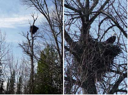 Eagles around Lake Gogebic