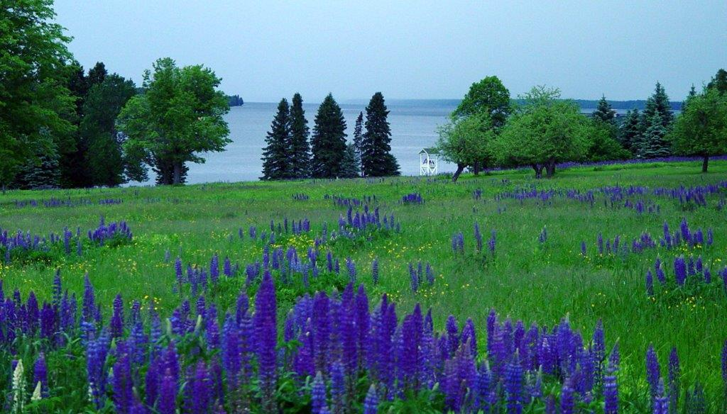 Lake Gogebic Lupines
